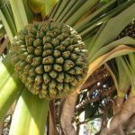 Kitty-Schulz-Vrucht-aan-een-yucca-boom.JPG