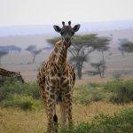 Giraffe-Serengeti.JPG