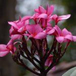 rose-fransipansi-heel-mooi-gebruiken.JPG